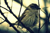 Generally, Sparrows Are Small, Plump, Brown And Grey Birds With Short Tails And Stubby, Powerful Bea poster