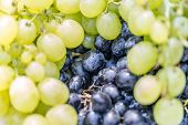 Healthy Fruits Red Wine Grapes Background, Dark Grapes Or Blue Grapes Or Wine Grapes In A Supermarke poster