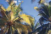 Fluffy Palm Tree On Sunset Sky. Tropical Nature Optimistic Landscape. Coco Palm Leaf Digital Illustr poster