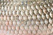 fish scales,carp background