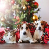 Cat and dogs under a christmas tree. Pets under plaid poster