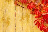 Fondo de otoño: Uva roja deja sobre la textura de madera del Grunge