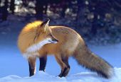 Backlit Red Fox
