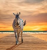 Zebra Walking On Wooden Plank At Beach