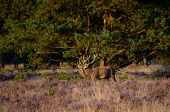Red Deer In The Heath