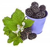 Sweet blackberry bramble dewberry with leaves in a color bucket isolated on white background