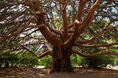 Big pine tree.