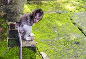 Baby-monkey Hiding In Ubud Forest, Bali