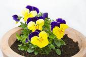 Viola cornuta flower in a pot on white background