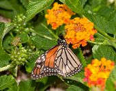 Monarch butterfly feeding on a Lantana flower cluster