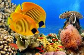 picture of butterfly fish  - Underwater image of coral reef and Masked Butterfly Fish - JPG