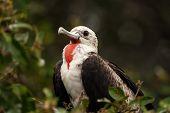 Juvenile Male Magnificent Frigatebird