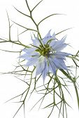 Blue Nigella flower close up on white background