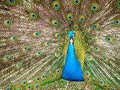 Displaying Peacock