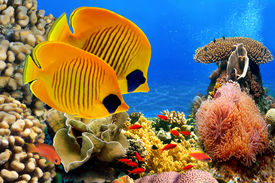 foto of butterfly fish  - Underwater image of coral reef and Masked Butterfly Fish - JPG