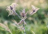 Dead Thistle Covered In Cobwebs