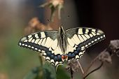 Papillion Machaon Butterfly.