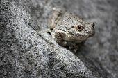 rare desert tree frog