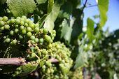 california grape vine
