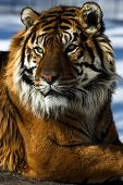 foto of foodchain  - Portrait of a tiger sitting on a rock - JPG