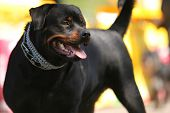 Cão de guarda Deutsch Rottweiler