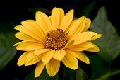 Big Yellow Daisy