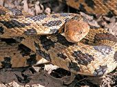 image of harmless snakes  - Photograph of a large Fox Snake ready to strike at photographer - JPG