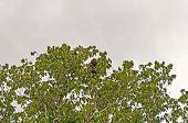 Brüllaffen In einem großen Regenwald-Baum