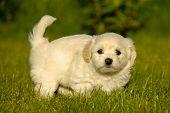 Bichon Havanais Welpen Hund