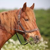 Draft Horse Eating Grass