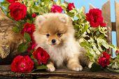 Duits (Pommeren) spitz puppies en bloemen rozen