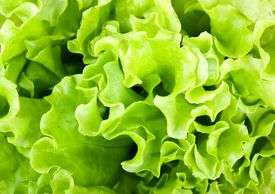 stock photo of photosynthesis  - Fresh green Lettuce salad can be use as background - JPG