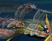 Dragonfly Fancy