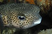 Porcupinefish Closeup