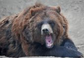 Grizzly or brown Bear growling horizontal