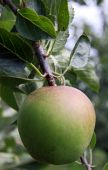 stock photo of seed bearing  - Rural green apple orchard tree bearing fruit - JPG