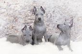 Three Thai Ridgeback Puppies. Two Months Old