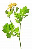 image of celandine  - Blooming Celandine  - JPG