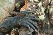 Galapagos Lava Lizard Resting On Leg Of Marine Iguana