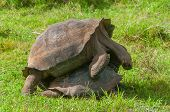 Pair Of Galapagos Giant Tortoises Mating
