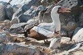 stock photo of booby  - Nazca Booby with young chick at nest - JPG