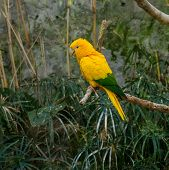Colourful yellow lori parrot  on the perch