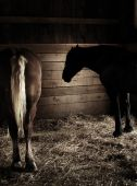 foto of workhorses  - Two farm horses relaxing in their stable - JPG