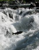 stock photo of rogue  - Chinook Salmon making its way up the natural fish ladder on the Rogue River - JPG