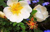 White dog rose in several phase