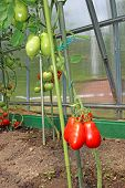 Red And Green Tomatoes On The Bush In A Greenhouse