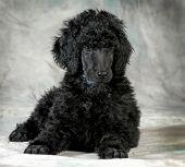 filhote de cachorro poodle padrão estabelece - 8 semanas de idade