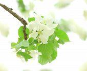 Flowers Of Apple-tree