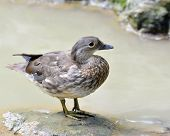 Beautiful Female Of Mandarin Duck Standing On The Rock In The Stream
