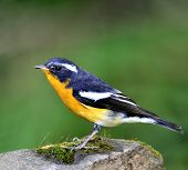 Beautiful Male Of Mugimaki Flycatcher Bird (ficedula Strophiata)